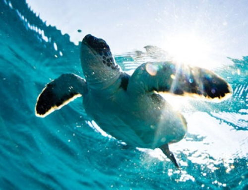 The Secret Lives and Ancient Instincts of Sea Turtles